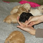 Australian labradoodle puppies and scents