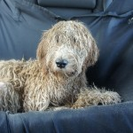 Australian Labradoodle way back home