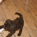 Australian labradoodles and temperament testing