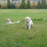 Australian Labradoodles playing outside
