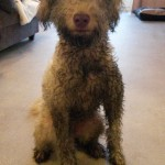 Boksie - really dirty Australian Labradoodle