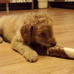 Chippie the Australian Labradoodle