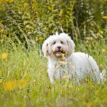 Labradoodle, Nessie on grass