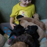 Labradoodle, child socialization