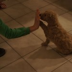 Labradoodle high five