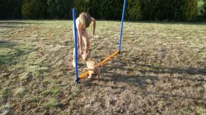 Labradoodle i agility