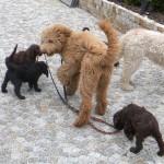 Labradoodle oraz  inne psy