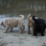 Labradoodle pups at the lake