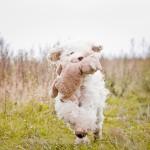 Labradoodle, running, Nessie