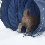 Labradoodle tunnel