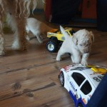 labradoodles meeting toys