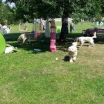Nessie, labradoodle, psia kraina