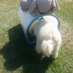Nessie, labradoodle, slon