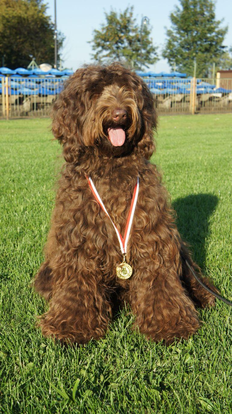 Australian Labradoodle Gala, medal