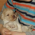 Australian labradoodle puppies and kid