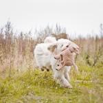 Australian Labradoodle running, toy