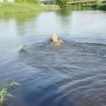 Australian Labradoodle swimming