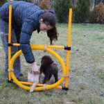 Australian Labradoodles and agility field