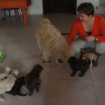 Australian labradoodles having visitors