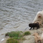 Australian Labradoodles visit at the lake