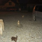 Australian Labradoodles playing at night