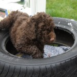 Australian Labradoodles and 12 different educational surfaces