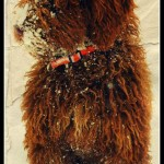 Australijski Labradoodle Donnan