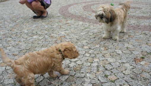 Inne psy, labradoodle