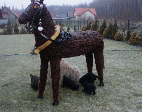 Labradoodle i kon