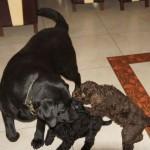 Labradoodle i labrador
