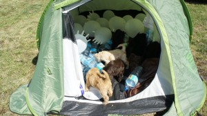 Labradoodle i namiot
