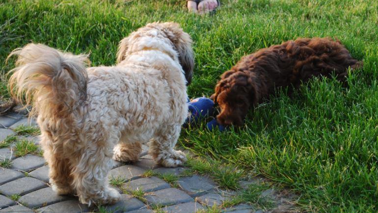 Labradoodle i pies