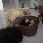 Labradoodle- inne psy