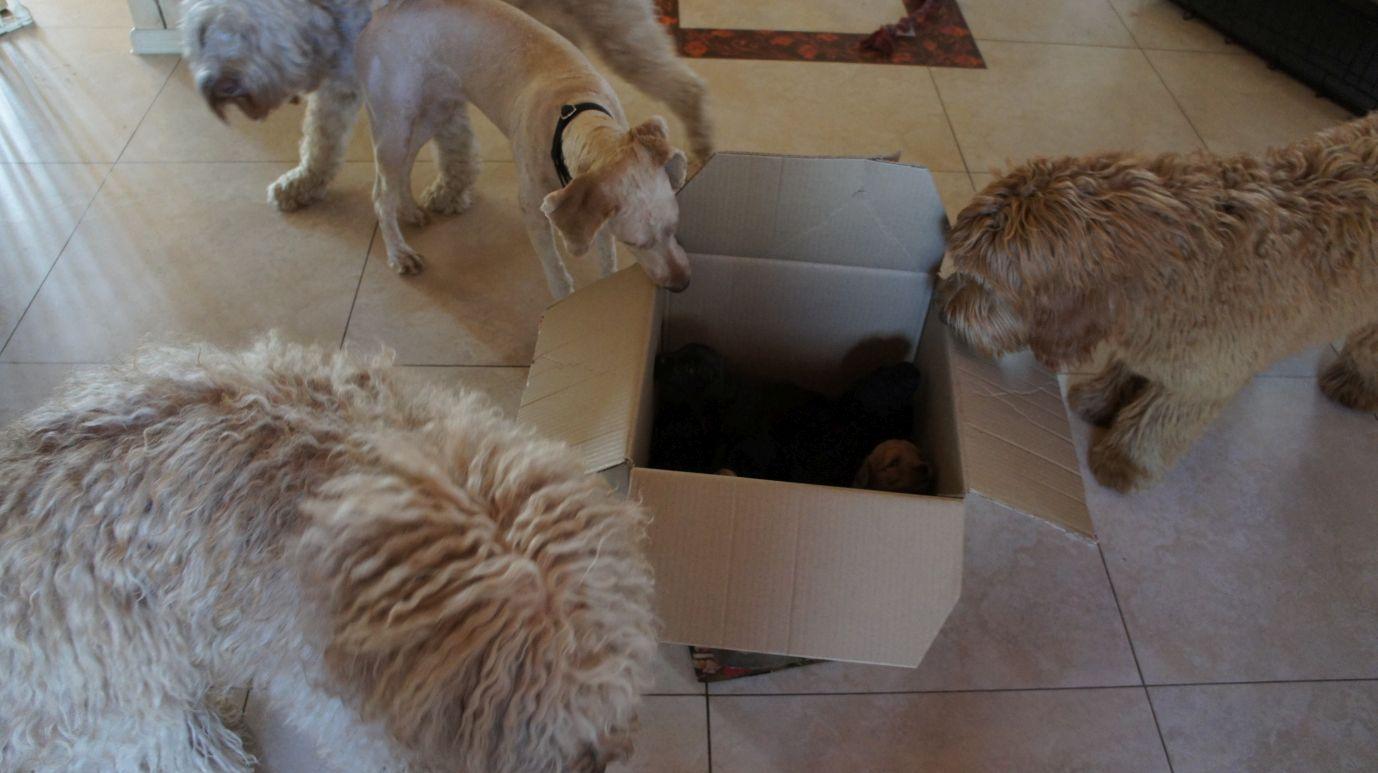 Labradoodle i inne psy