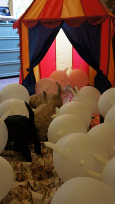 Labradoodle, namiot i balony