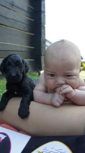 Labradoodle, niemowle