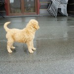 Labradoodle pups in the rain
