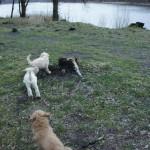 Labradoodle pups at the lake