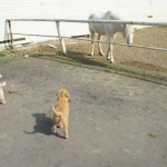 Labradoodle pups in a horse stable