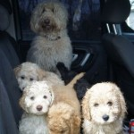 Labradoodle pups in a car