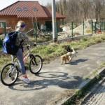 Labradoodle pups meeting bicycle