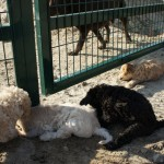 Labradoodle pups meeting other dogs
