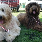 Labradoodles, taking rest