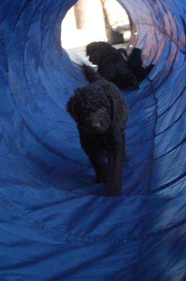 Labradoodle w tunelu
