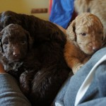 labradoodles and quests