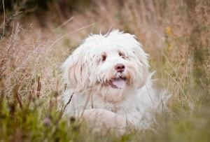 Nessie Australian Labradoodle
