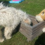 Nessie Labradoodle, in the box