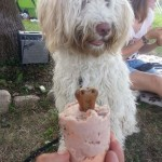 Nessie, labradoodle, lody