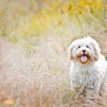 Nessie, lovely Labradoodle