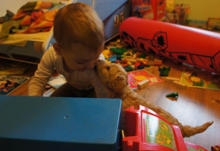 labradoodle - bezpieczne dzieci